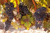 Tempranillo Grapes, Rioja Region, Spain