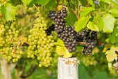 Red and white wine grapes in Beuren, Germany