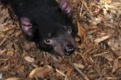 stock photo of taz  - The Tasmanian Devil  - JPG