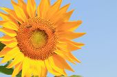 Sunflower and bees