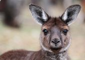 The western grey kangaroo (Macropus fuliginosus)