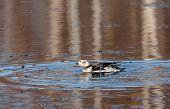 Long-tailed duck having a bath
