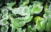 Giant Elephant Ear Leaf
