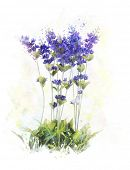 Watercolor Digital Painting Of Lavender Flowers
