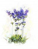 Watercolor Digital Painting Of Lavender Flowers