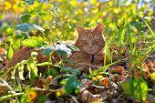 Red cat lies in autumn the grass