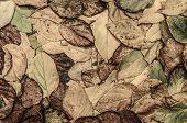 Autumn Leaves (actinidia)background, Texture