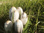 pic of agar  - Wild mushrooms growing in a grassy field. Edible conditionally canine agaric mushroom (Coprinus comatus). ** Note: Soft Focus at 100%, best at smaller sizes - JPG
