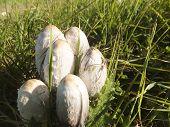 Canine Agaric Mushroom (coprinus Comatus).
