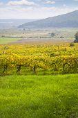 Beautiful Autumn Vineyard Landscape