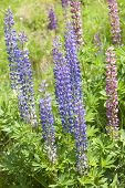 Lupines in a field