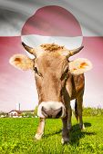 Cow With Flag On Background Series - Greenland