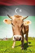 Cow With Flag On Background Series - Libya