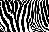 zebra body