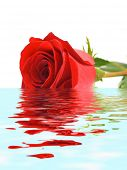 Rose in water, isolated on white background