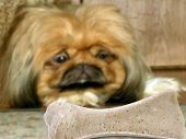 Dog (pekinese) look at bone
