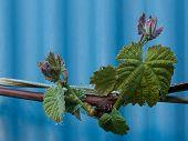 New Vine Growth