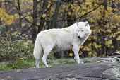 Lone Arctic Wolf in fall