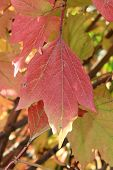 Autumn colors. Red leaf of viburnum