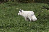 A lone Arctic Fox