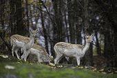 Group of Fallow Deer