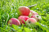 Fruit Red Apples On A  Green Grass