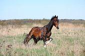 Bay Horse Galloping Free At The Field