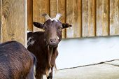Photo of a brown goat in the alps