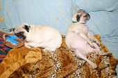 Two Funny Pugs Sleeping-concept Of A Hang Over