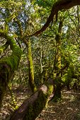 Rainforest in Garajonay National Park - La Gomera - Canary islands - Spain