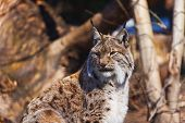 Lynx - zoo in Innsbruck Austria - animal background