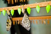 New Butterflies On Their Chrysalises