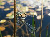 Emerald Damselflies (mating pair)
