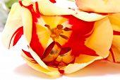 Rings In Tulip