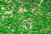 The Green Creeper Wall