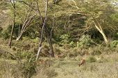 herd of impala in forest habitat of Kenya