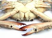 stock photo of blue crab  - closeup Blue crab isolated on white background - JPG