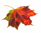 Multicolor Autumn Maple Leaf On White Background