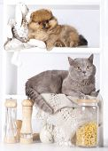 British kitten rare color (lilac) and pomeranian spitz, cat and dog