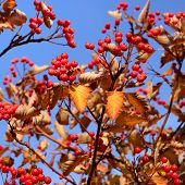 Autumn Hawthorn Berries On Sky Background