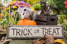 image of opossum  - A Baby Opossum playing in the garden - JPG