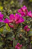 Alpine rose bushes in the mountains