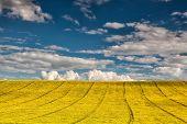 image of rape  - Empty rape field under blue sky in summer day - JPG