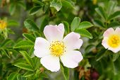 image of rosa  - close up rosa canina wild spring pink - JPG