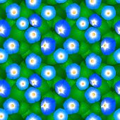 foto of ipomoea  - Seamless pattern with flowers ipomoea morning glory - JPG