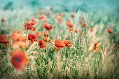 pic of poppy flower  - Meadow with beautiful wild poppy flowers in grass  - JPG