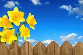 picture of wooden fence  - Daffodils  - JPG
