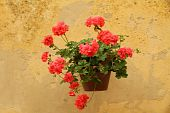 red geranium on wall in Italy