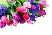 image of bosoms  - fresh blue hyacinth and tulips close up isolated on white background - JPG