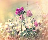 picture of red clover  - Flowering red clover in meadow - JPG